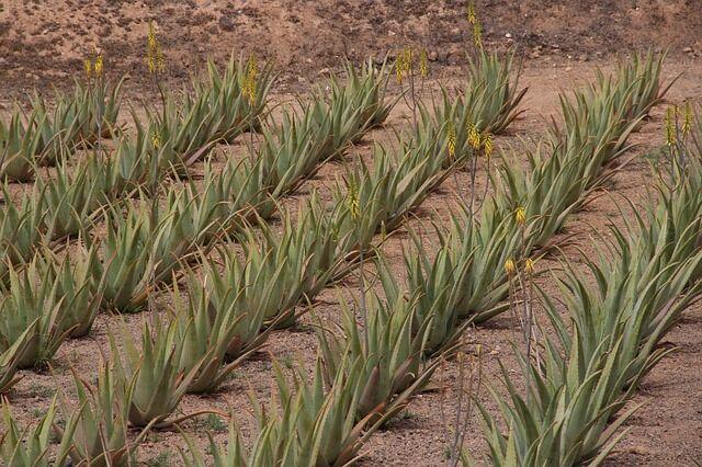 Aloe vera küllönlegessége termesztés és begyűjtés