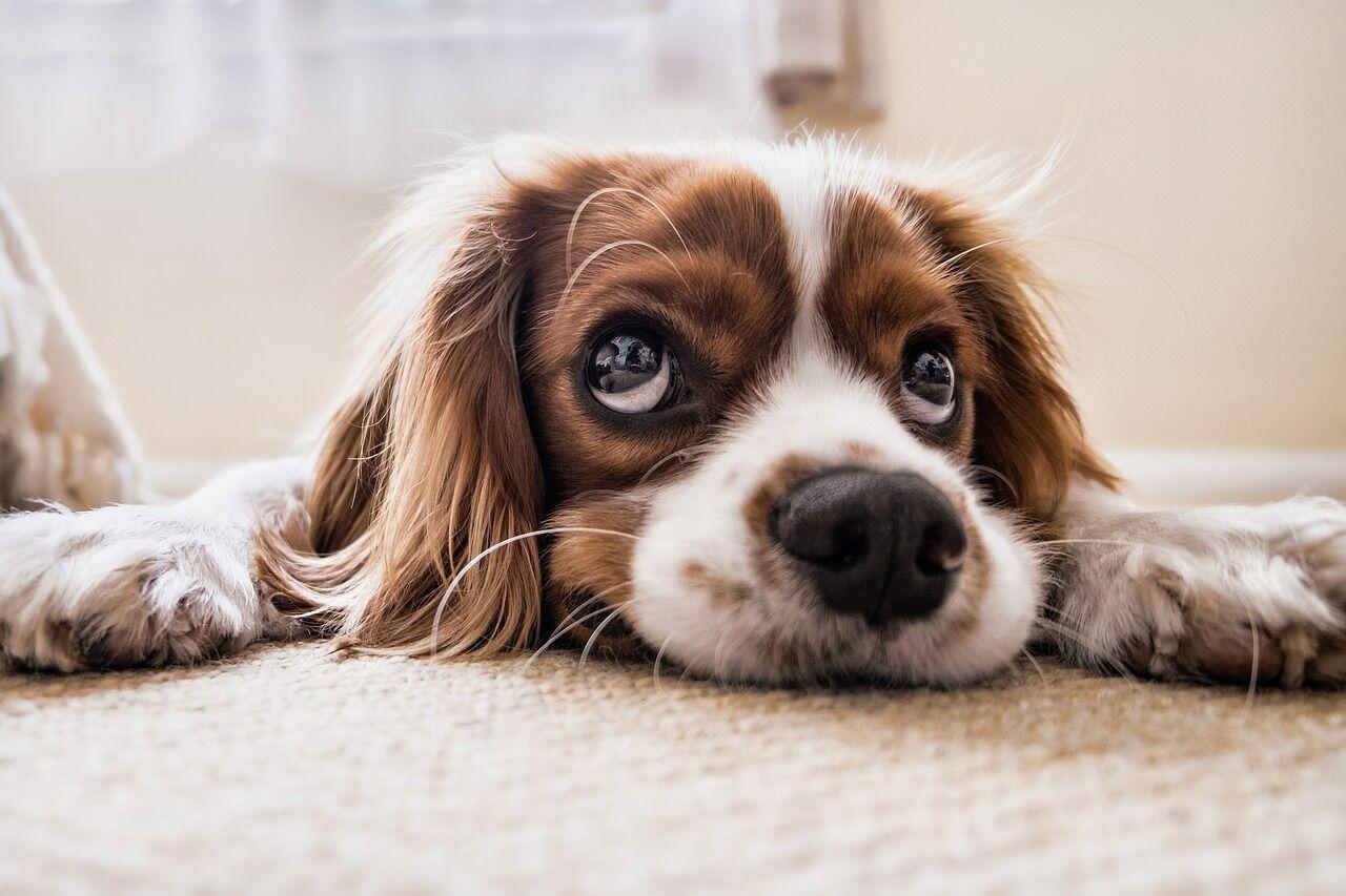 kutya fülgyulladás kezelésére aloe spray