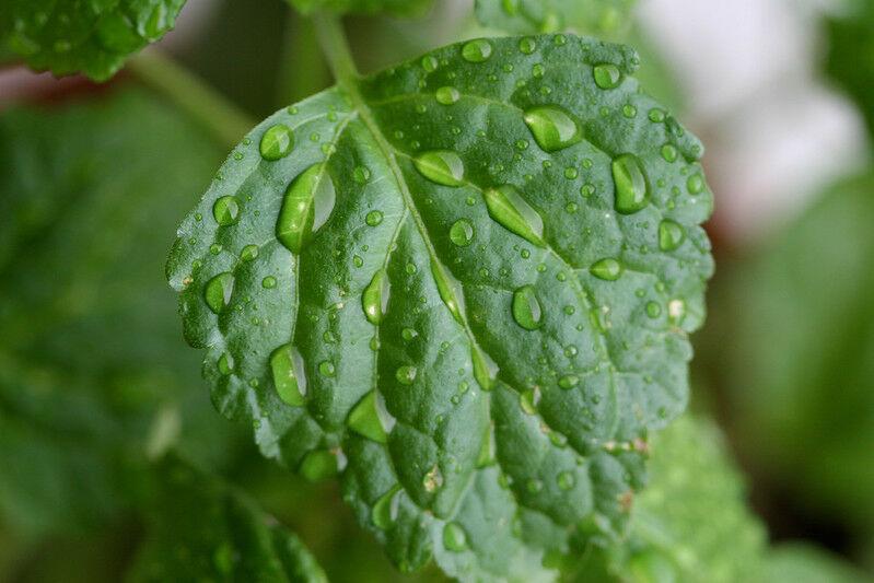 Pacsuli parfümben termesztése és hatása