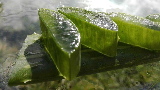 Aloe vera jótékony hatásai